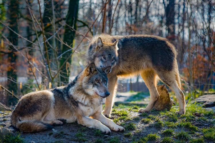 Всё о волках: интересные факты и популярные мифы