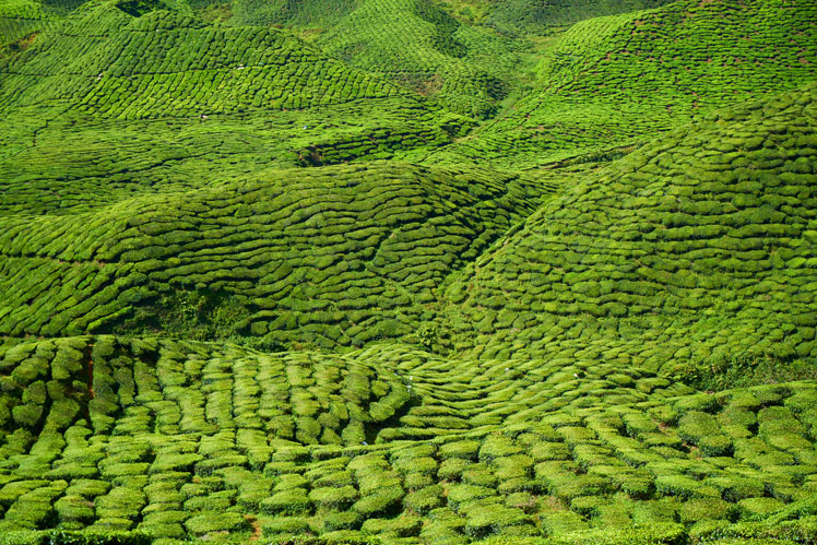 Выращивание, сбор и обработка чая. Классификация по степени окисления
