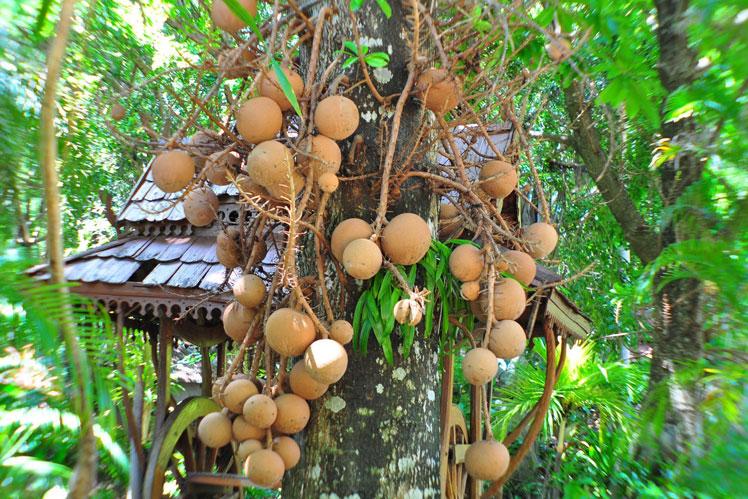 вынужденно как растет бразильский орех фото гостинице лето