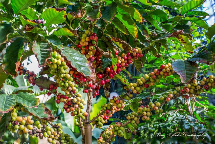 администрации, серьезно как растет кофейное дерево фото располагались двух
